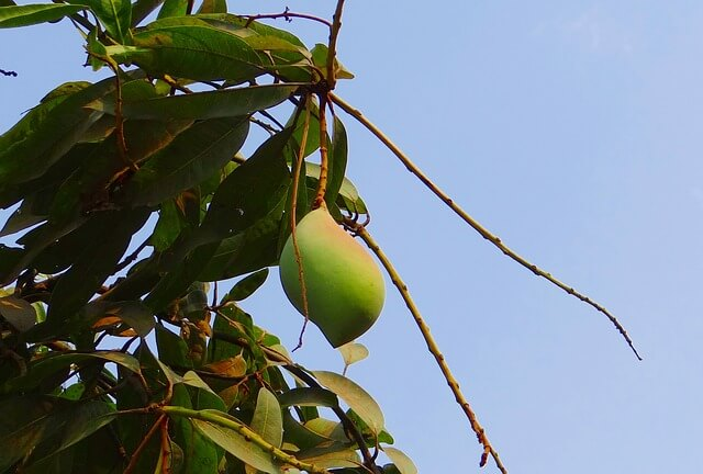 Owoc mangowca na gałęzi