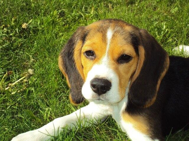 mały beagle