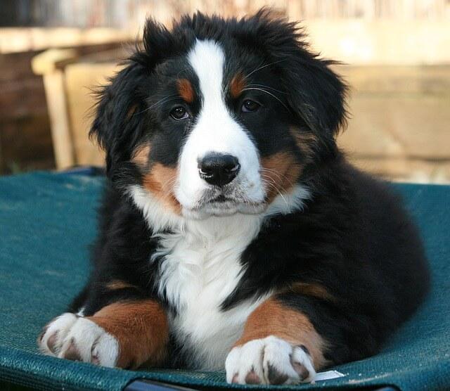 szczenię psa pasterskiego szwajcarskiego